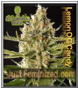 Philosopher Lemon OG Candy Fem 5 Weed Seeds
